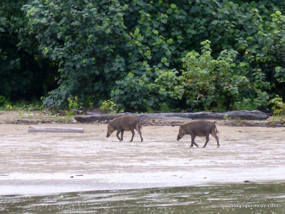Park Bako w Malezji, Dzikie Świnie
